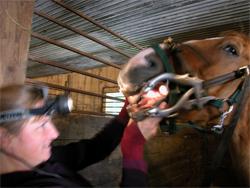 horse dentist