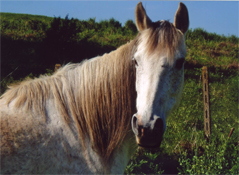 Anglo Arab Horse