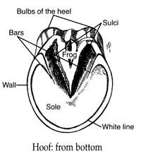 laminitis hoof
